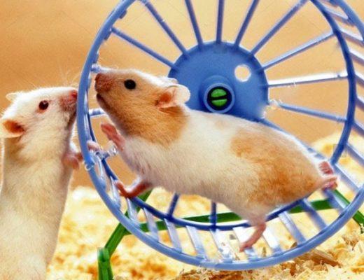 беговое колесо для хомяка
